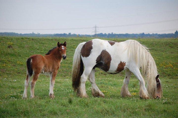 Gypsy Mare with multiple White patterns Tobiano and Splash and/or Sabino Lucy and Ocala