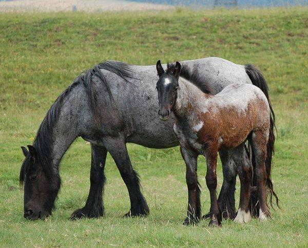 Vines Roan Mare and Colt