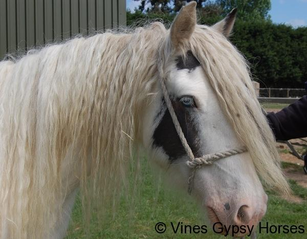 Vines White Earred Mare