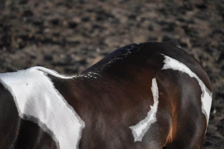 Half Arabian