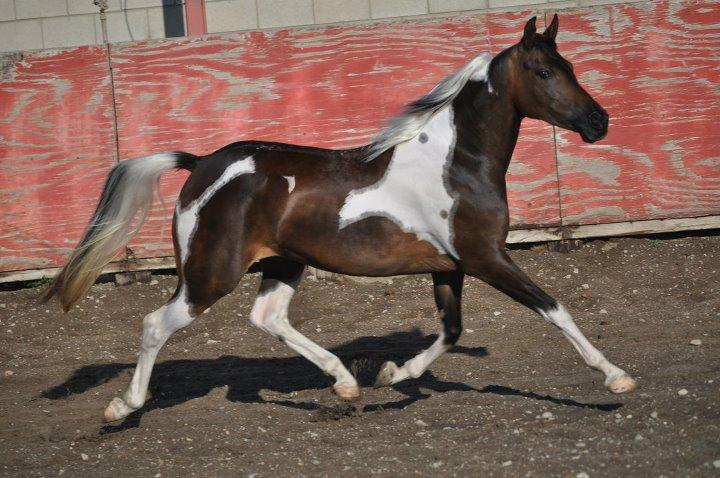 Half Arabian Pony