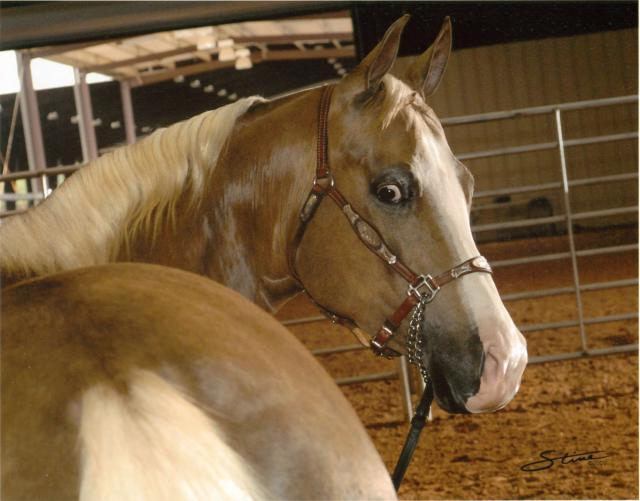 palomino horse at 4 Years Old