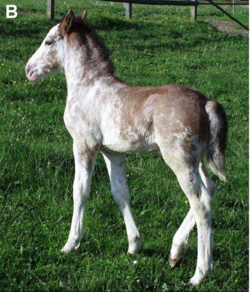 Dominant White Horse B