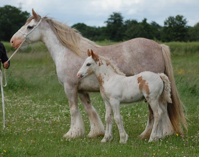 Roan Mare and Colt