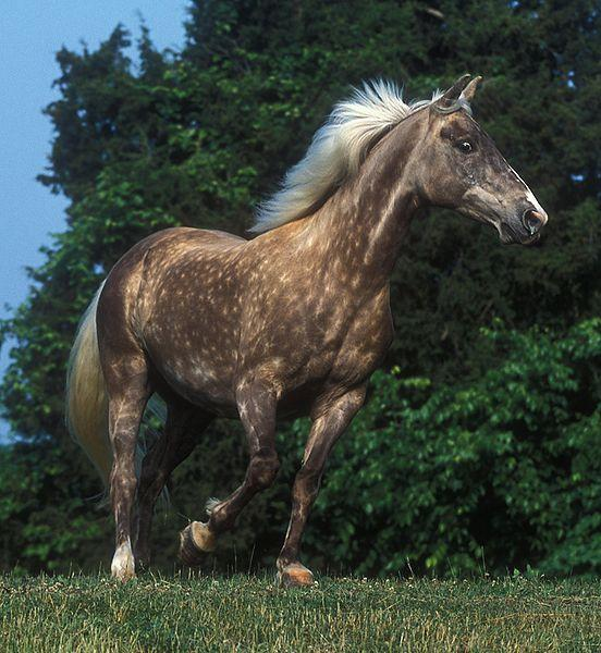 Black Silver Rocky Mountain Horse