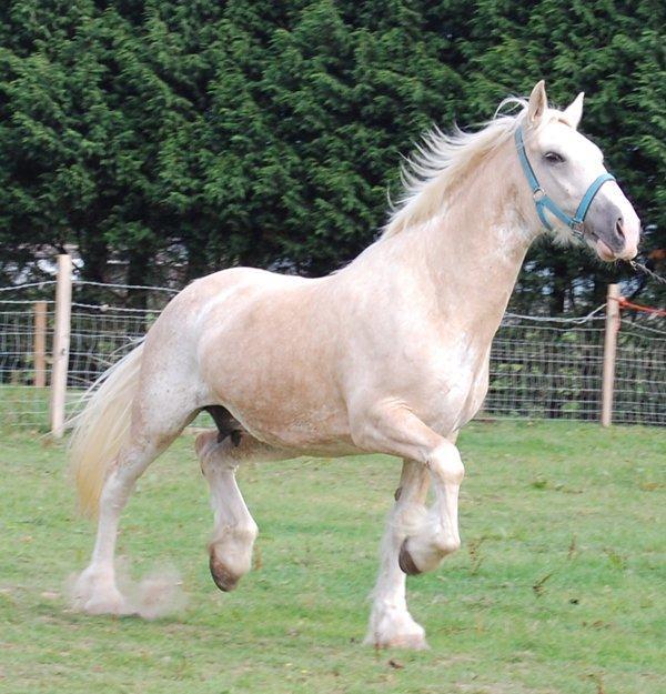 Vines Palomino Blagdon (pinto) Mare (horse)