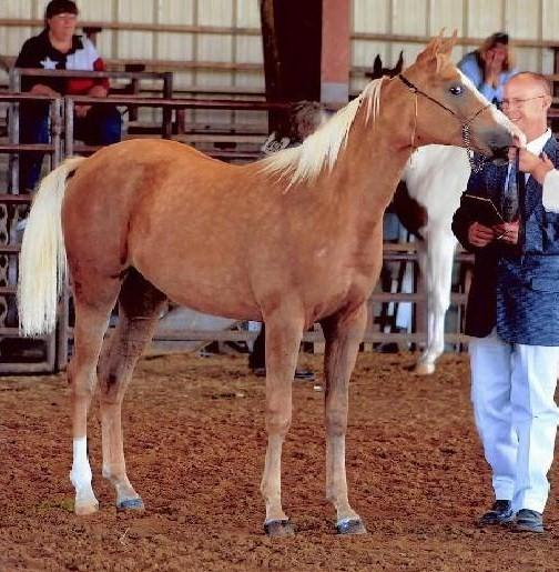palomino filly (horse) at 6 Months
