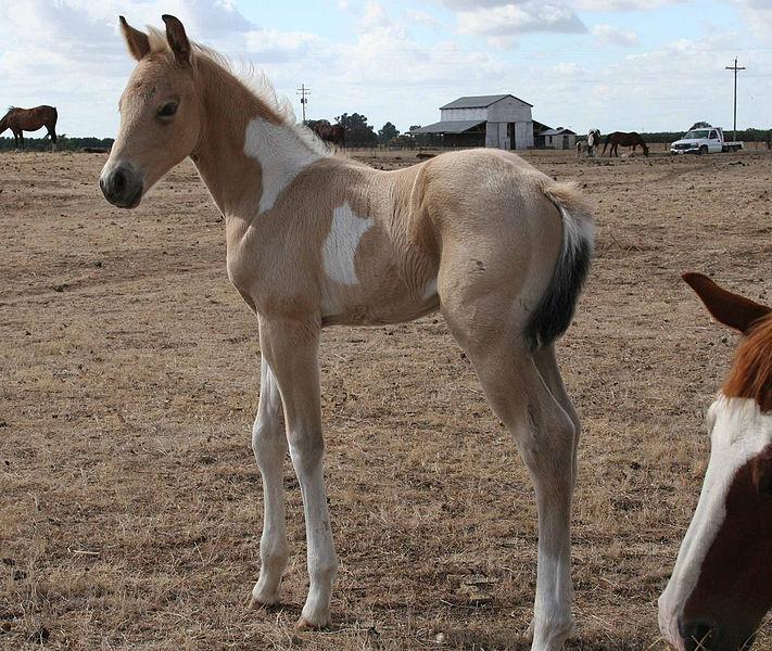 Buckskin Tobiano Foal