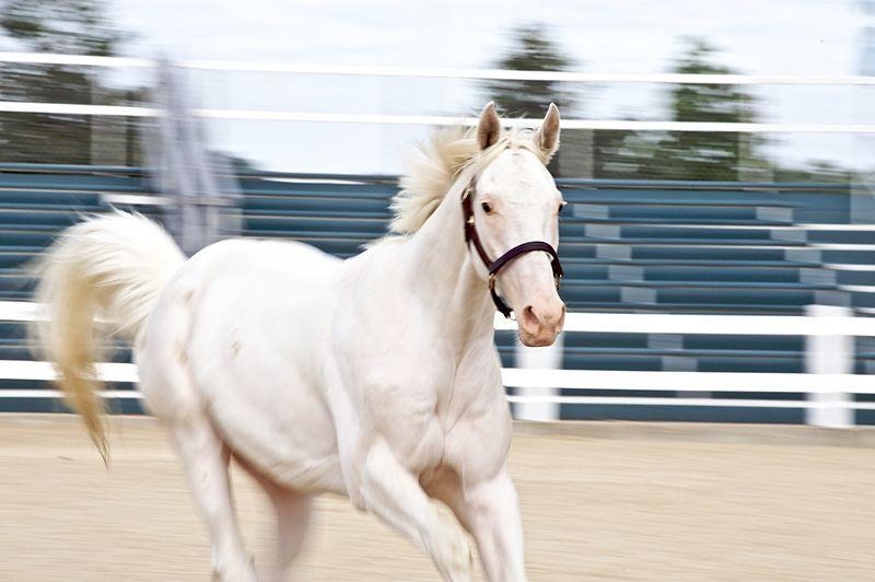 White Thoroughbred at Kentucky Horse Park
