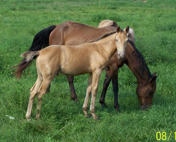Amber Champagne Foal