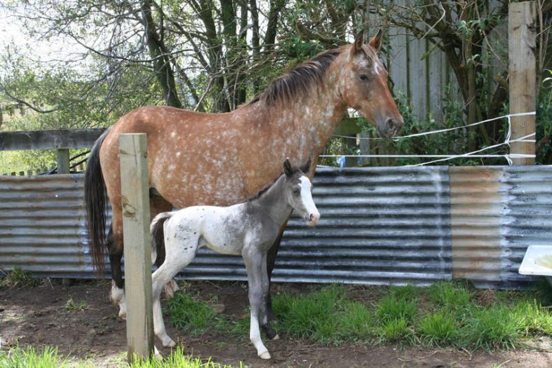 Beamer and 1 Day Old Foal