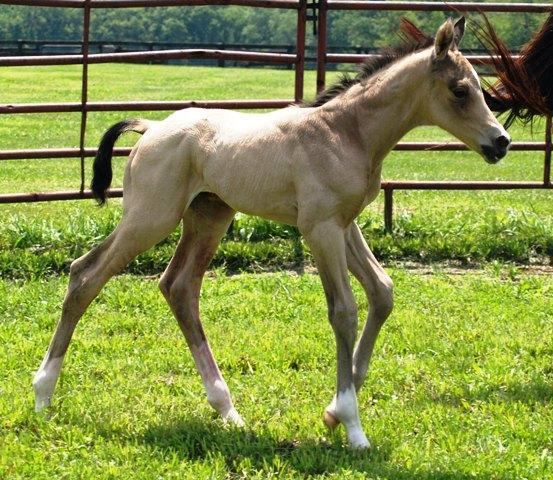 buckskin foal