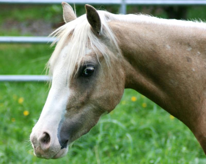 Palomino Welsh pony