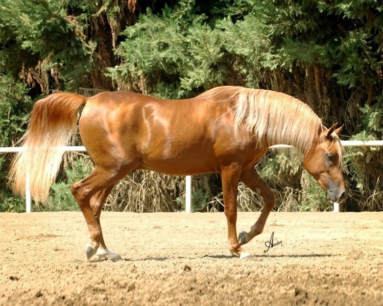 SA Cassia flaxen chestnut Arabian stallion