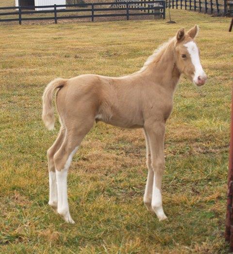 Cassie's Gold Locket Foal