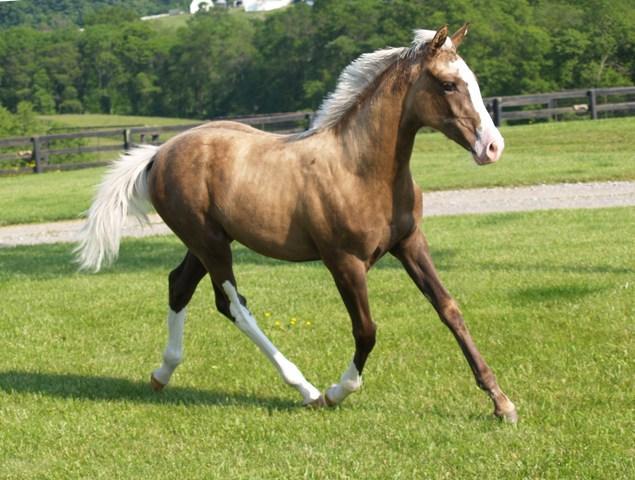 Palomino thoroughbred filly