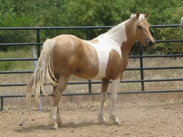 palomino tobiano pony