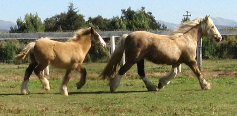 palomino mare and her smokey silver black filly