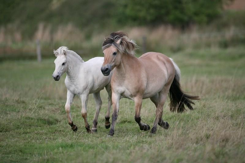 Fjord Mare and Foal