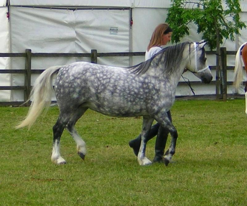 Dappled Pony