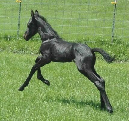 Smokey Black Foal