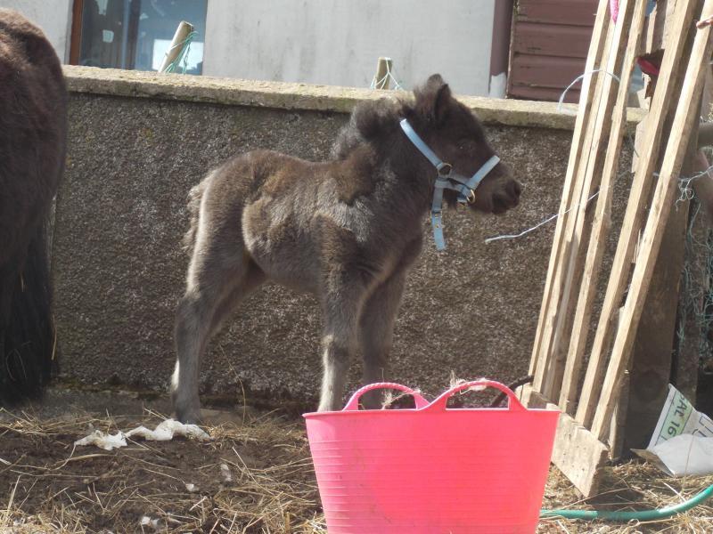Black British Shetland pony foal