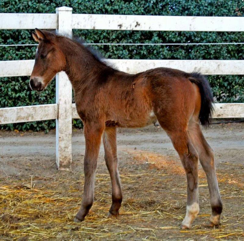 """Brown foal """"Independence KF"""" 2 weeks"""