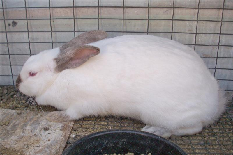 himi rabbit
