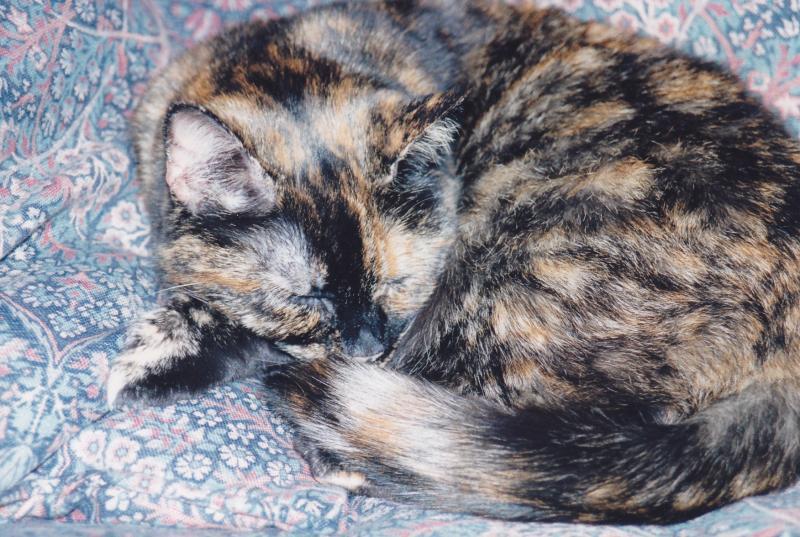 Suzy Tortoiseshell cat