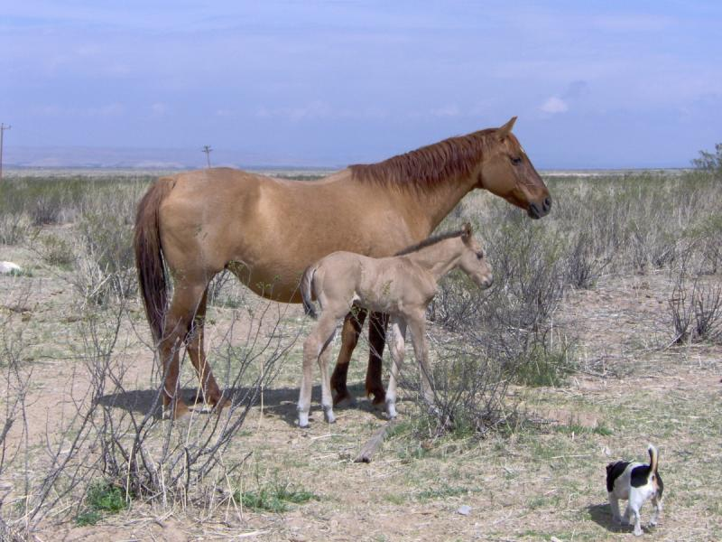 red dun mare with dun colt (horse)