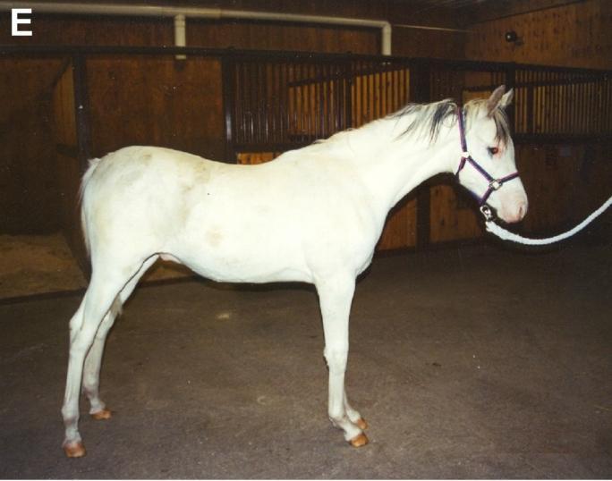 Dominant White Horse E