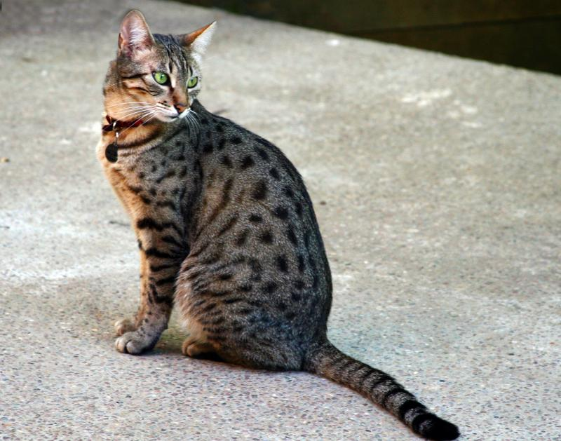 Egyptian Mau Bronze with Spotted Coat