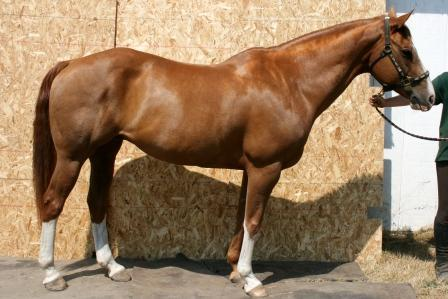 Chestnut stockhorse