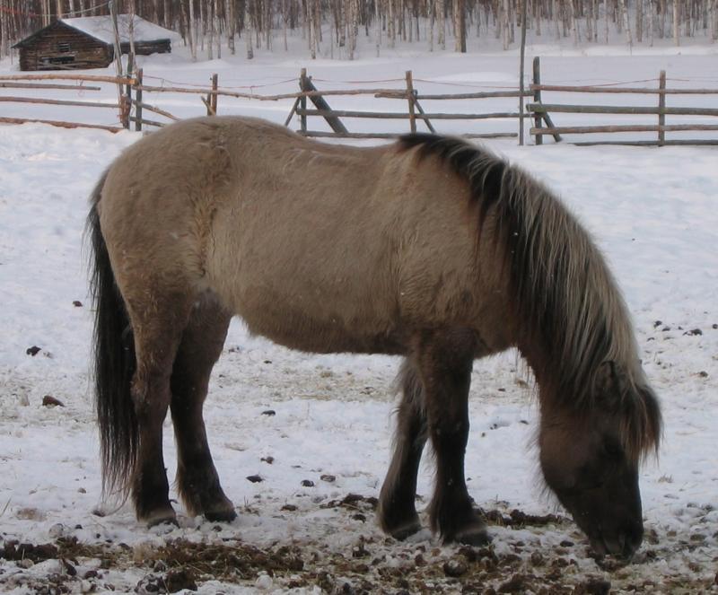 Grullo Icelandic Horse