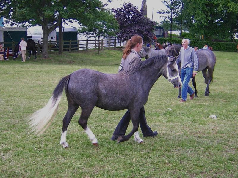 Dark Grey Welsh Pony