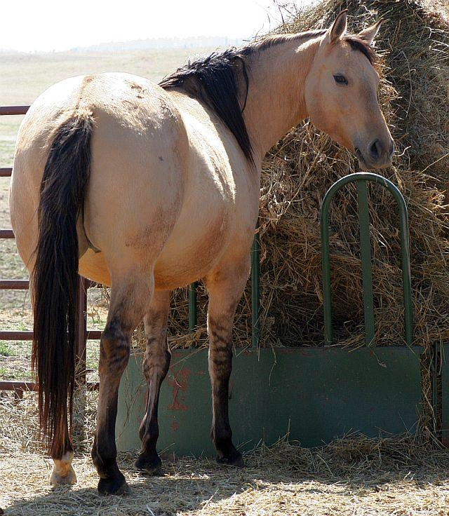 Dunskin (buckskin plus dun) horse