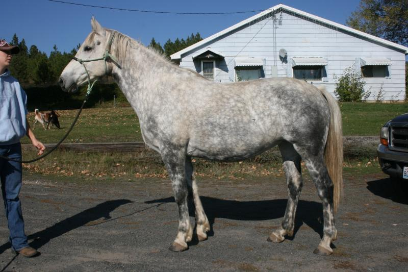 Grey PercheronXTB
