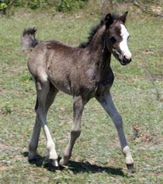 The Promise Black Filly