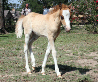 The Promise Red Dun Filly