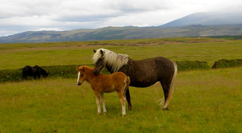 Icelandic Mare and Foal