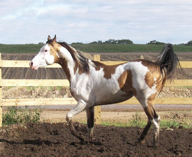 buckskin pinto stallion