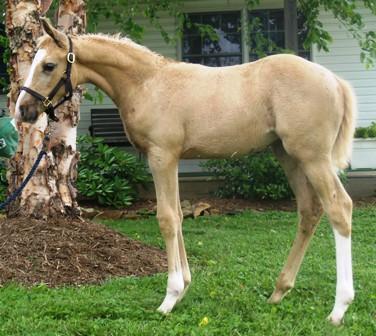 6 week old palomino foal