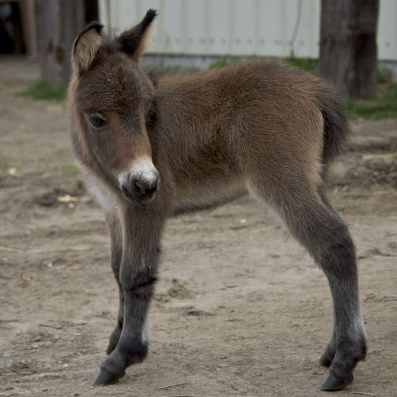 Peppy, a bay Miniature mule colt.