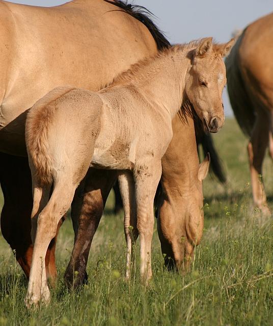Palomino Dun (dunalino) foal