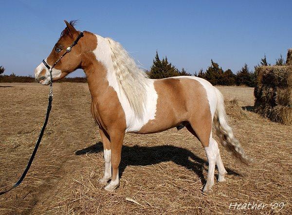 homozygous tobiano miniature stallion (horse)