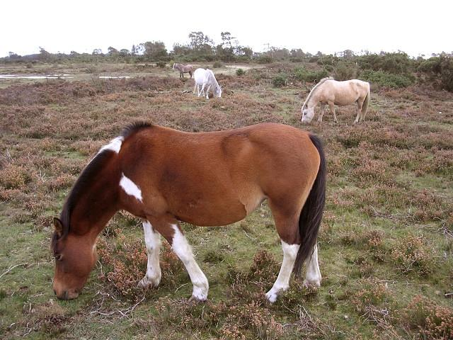 Ponies Grazing on Hatchet Moor, New Forest