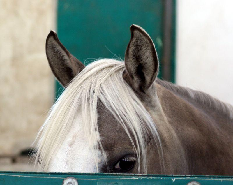 Quarter Horse Pony Silver Ears