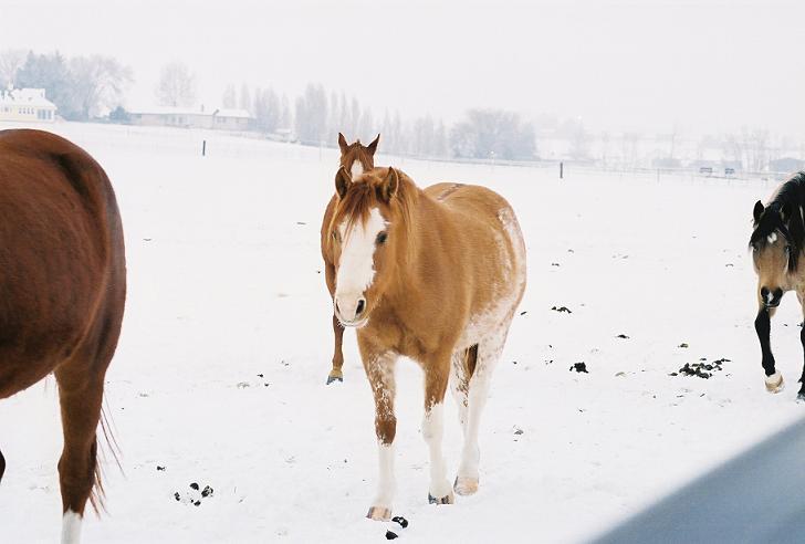 Red Dun Sabino Pony