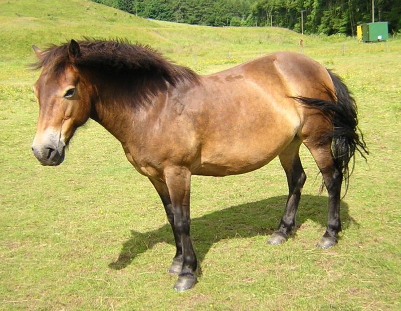 exmoor pony with panagre (horse)