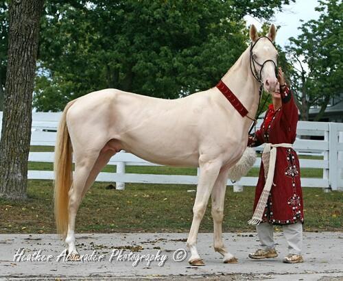 double dilute (perlino) akhal-teke stallion